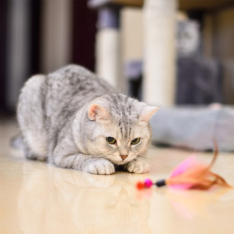 grey cat laying on floor look at toy