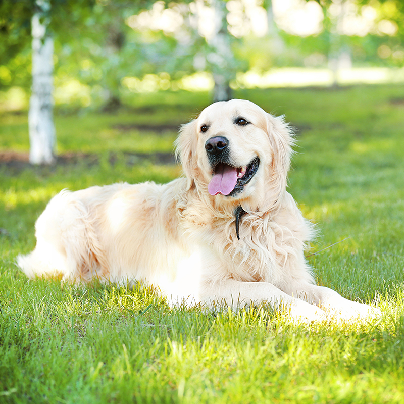 large white dog laying on grass in park
